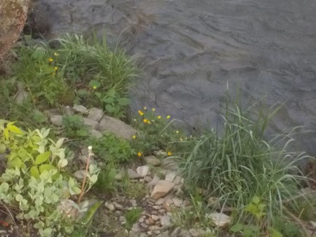 0402815 Buttercups by the creek