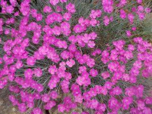 050715 (3) Lavender pinks