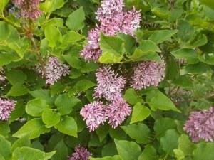 050715 (6) Lilac