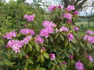050715 (8) Rhododendron