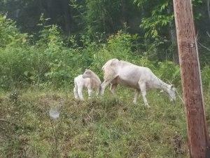 060615 Lamb with mama