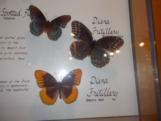 082215 JR Diana Fritillary