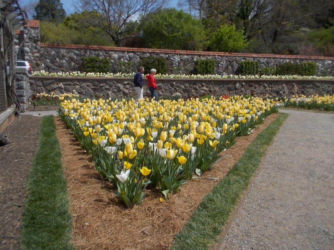 041316 Biltmore tulip walk.JPG