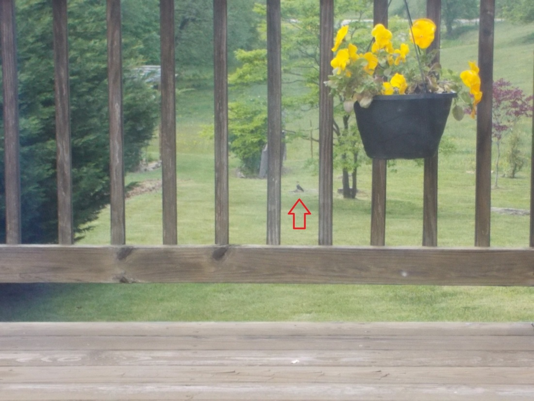 050616 Pileated woodpecker.JPG