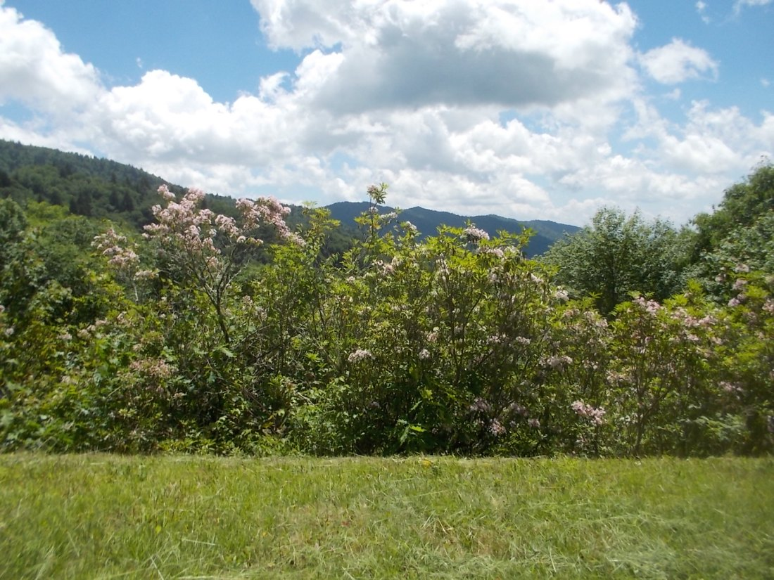 061516 Mountain laurel on the parkway.JPG