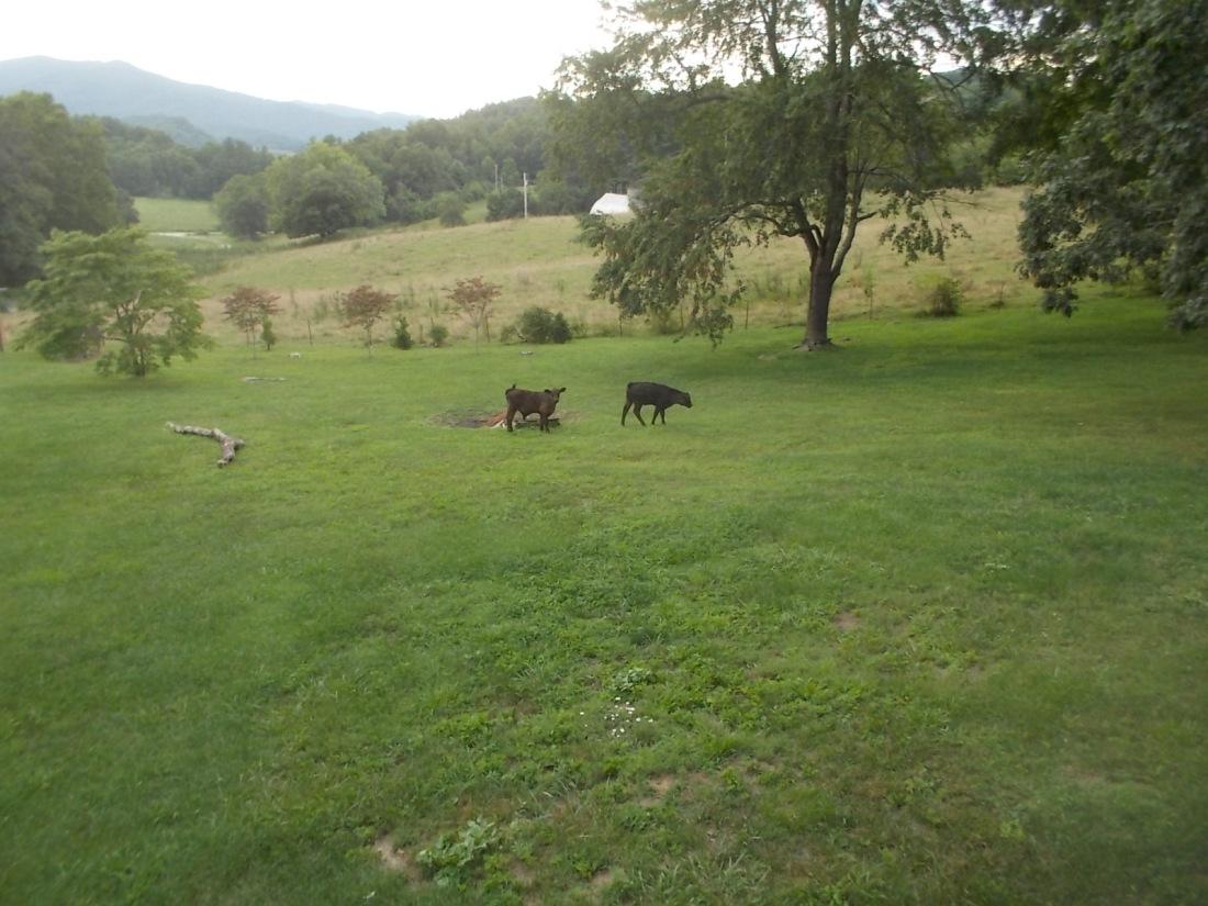 072716 Calves in our yard.jpg