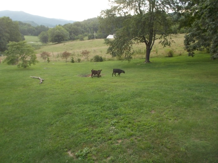 072716 Calves in our yard.jpg