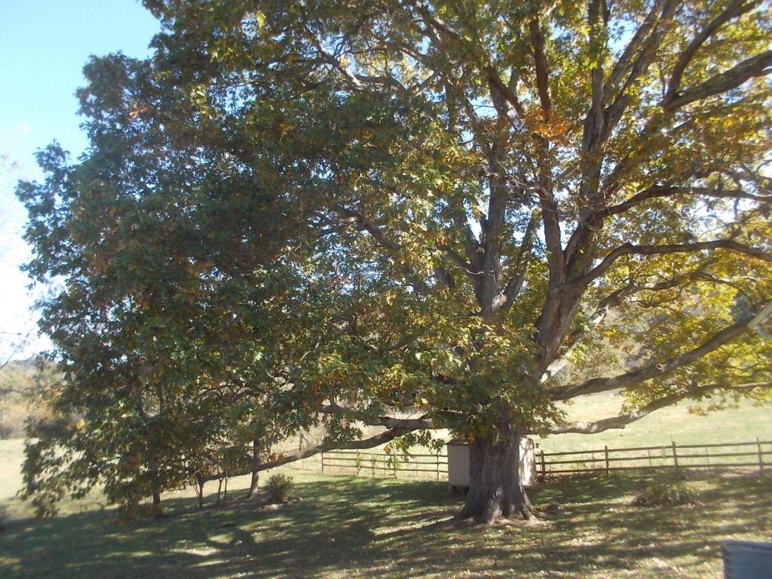 101516 Oak tree in our yard.jpg