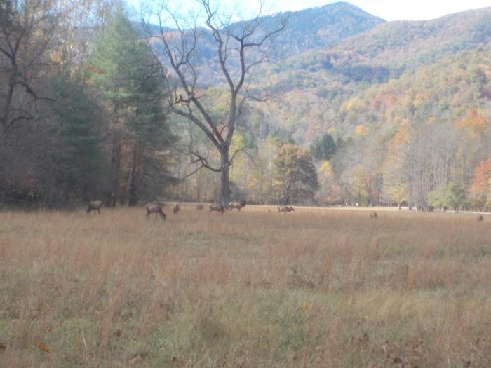 102216 Elk at Cataloochie.jpg