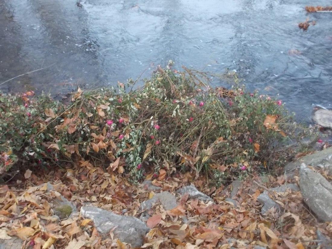 110316 Roses at Jonathan Creek.jpg