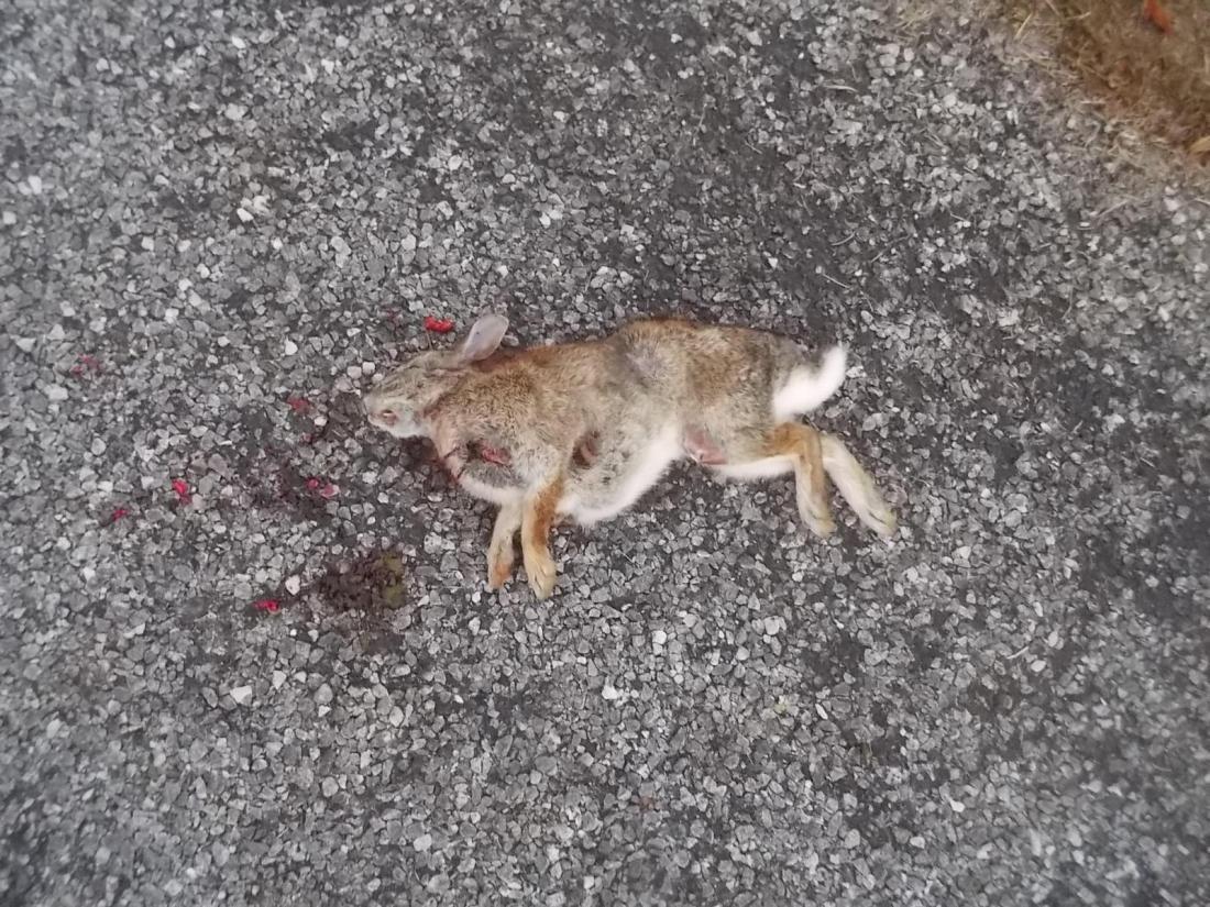 110516 Rabbit on the road.jpg