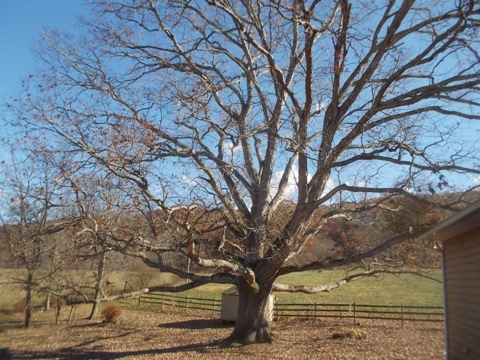 111416 Denuded oak.jpg