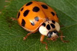 032217 Asian lady beetle from Pest Supply.jpg