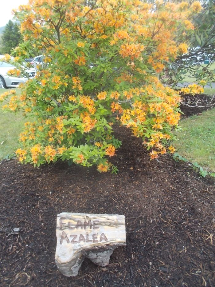 052217 Flame Azalea at Pisgah Inn