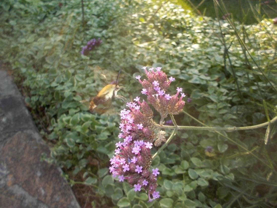 072417 Hummingbird moth in Shawn's garden.jpg