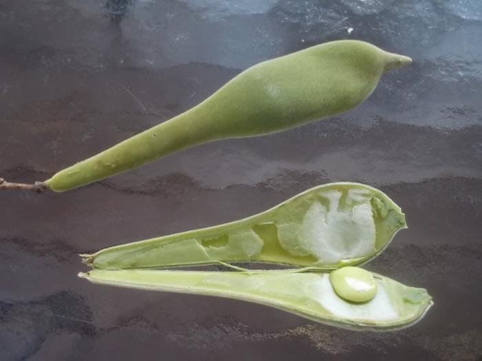 080317 Wicked wisteria pod.JPG