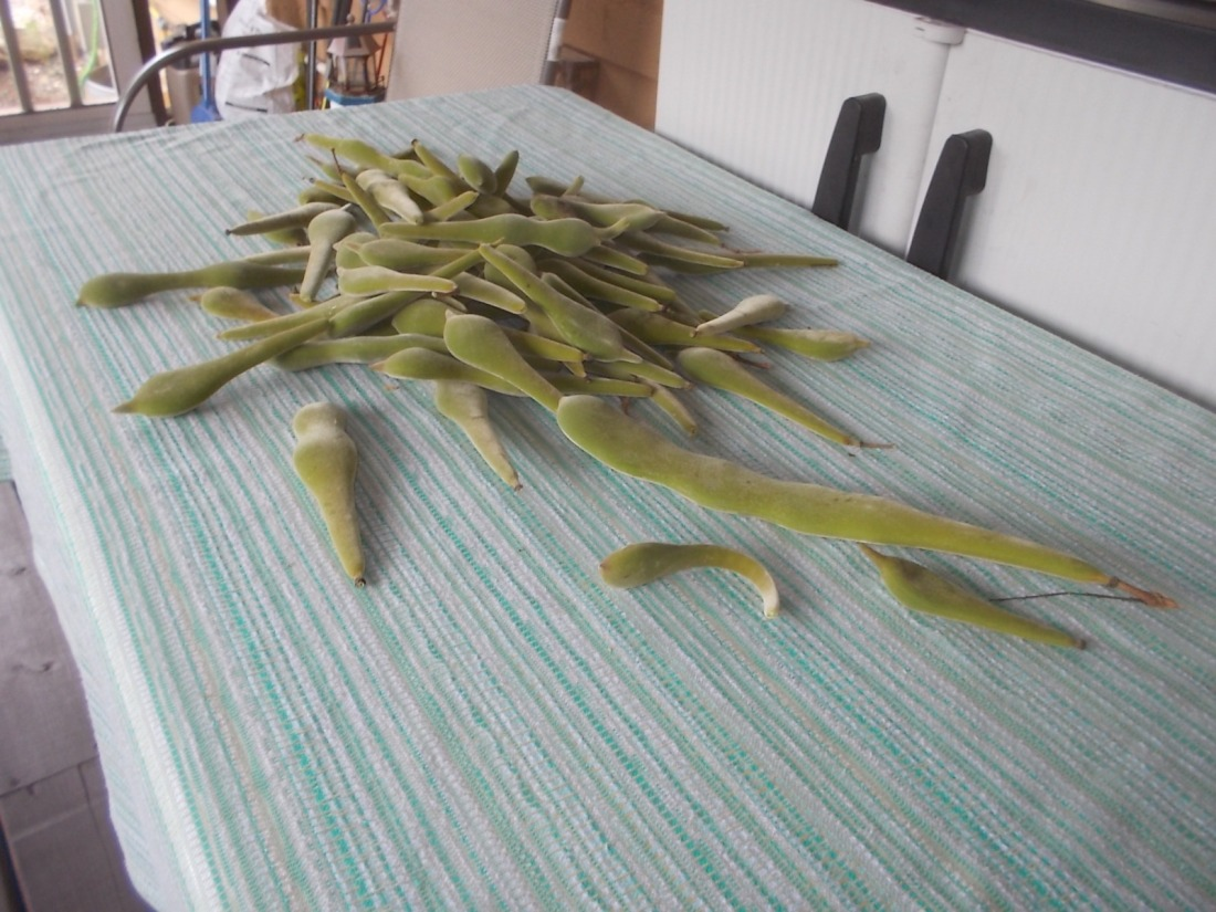 080717 Pile of pods 75 in all.jpg