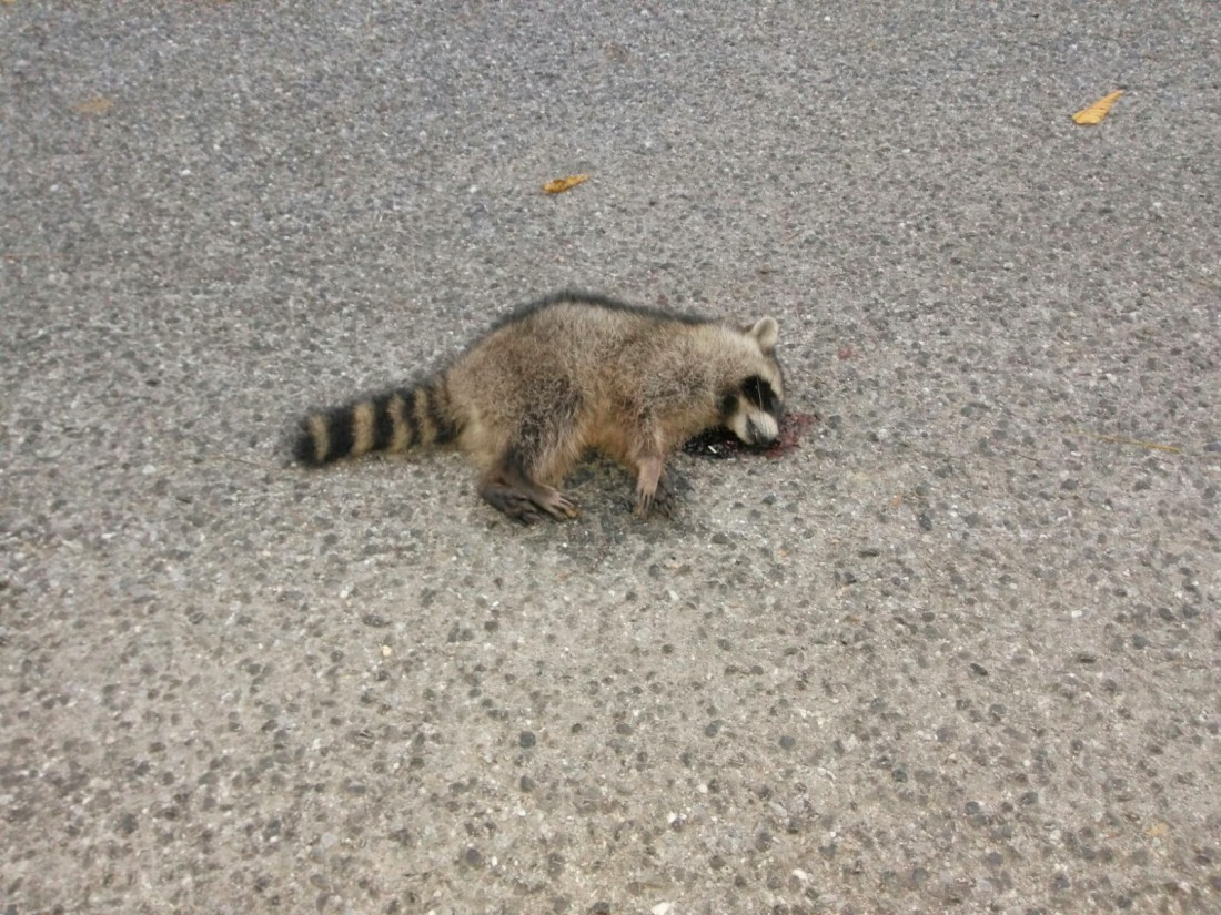 101317 Raccoon.jpg