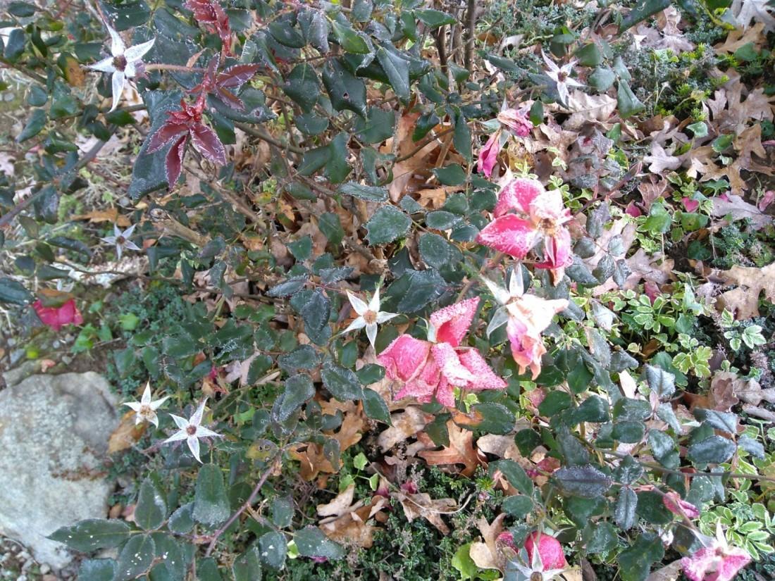 103017 Frozen roses.jpg
