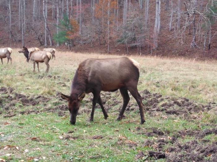 110617 Cataloochee elk grazing.jpg