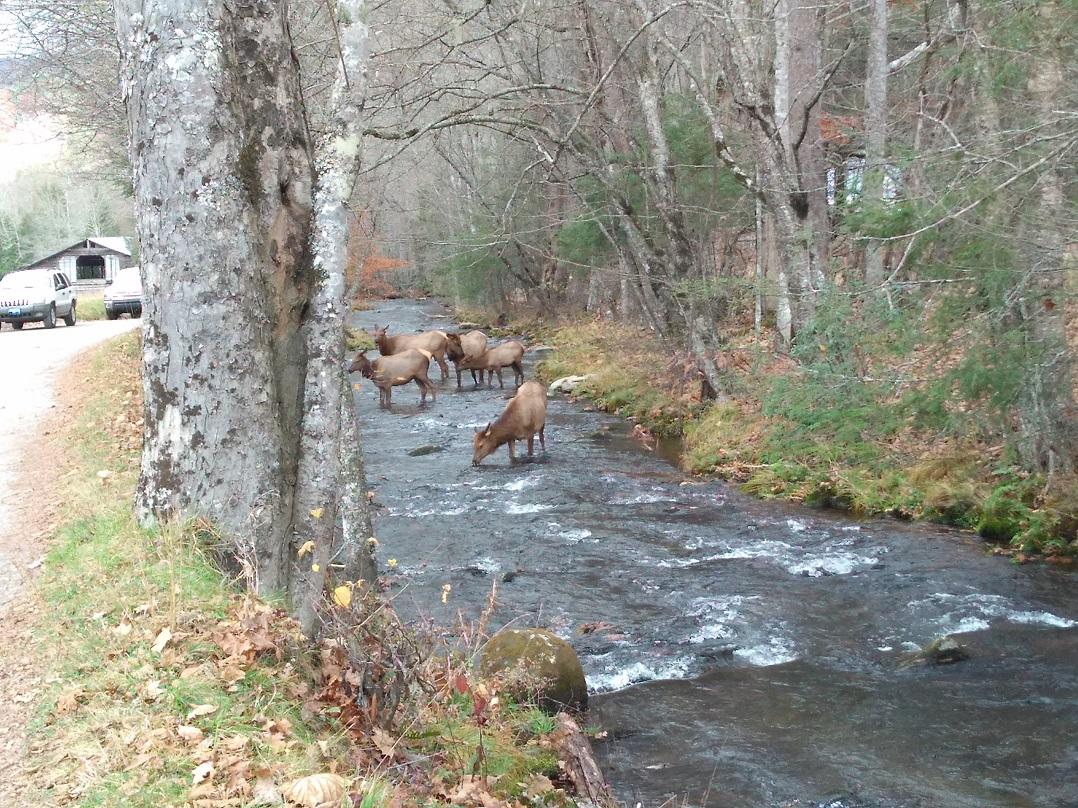110617 Cataloochee elk in stream.jpg