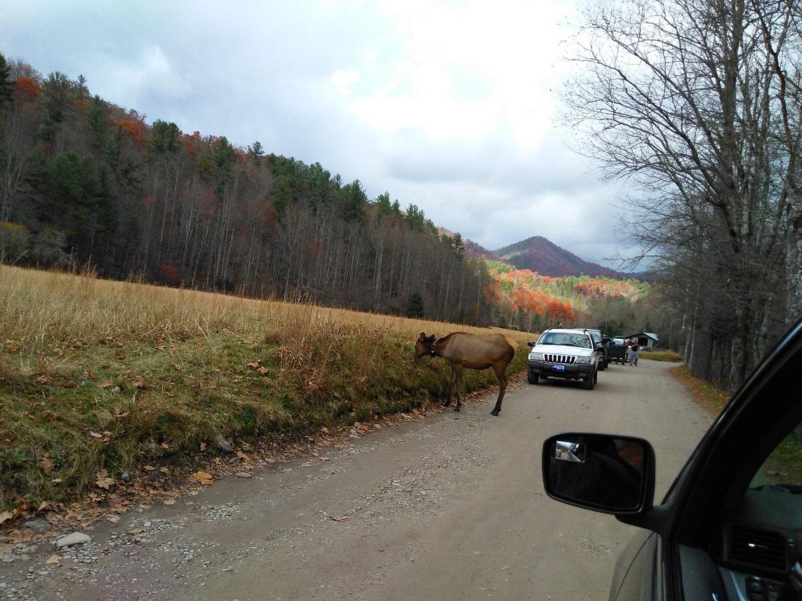 110617 Cataloochee elk on road.jpg