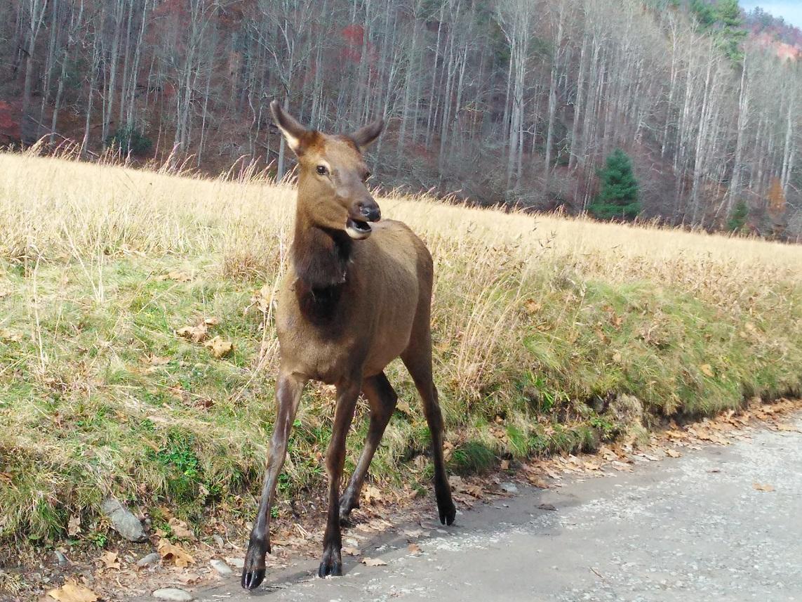 110617 Cataloochee elk passed by car window.jpg