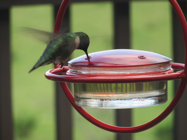 041918 Hummingbird hovers.JPG