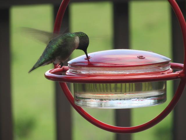 041918 Hummingbird hovers.JPG