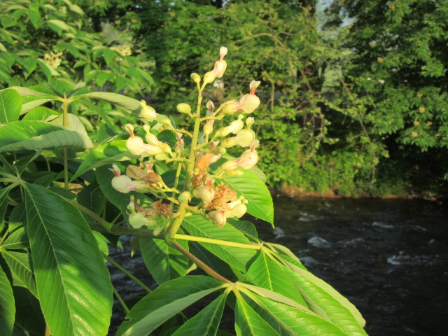 051418 Bloom on horse chestnut tree by stream.JPG