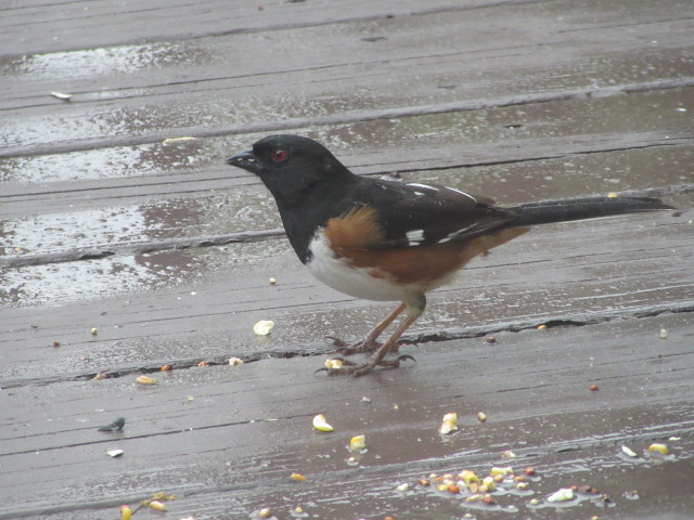 051518 Eastern towhee on our deck.JPG
