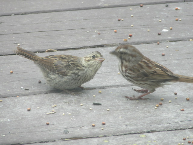 051518 Song sparrow feeding young one.JPG
