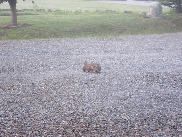 060718 Bunny grazing on gravel.JPG