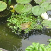062218 Frog in Kate's pond