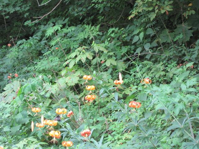 071818 Turk's Cap Lily near parkway.JPG