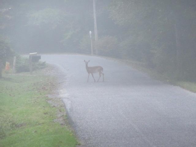 091918 Deer on Woodmore before foggy dawn.JPG