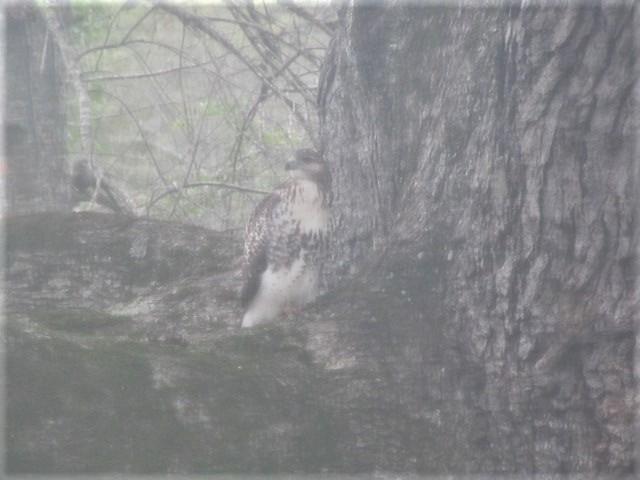 100918 Red tailed hawk in our oak tree.JPG