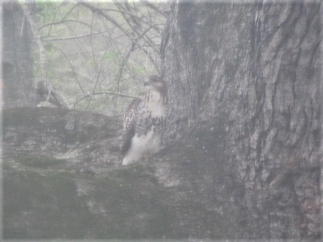100918 Red tailed hawk in our oak tree.JPG