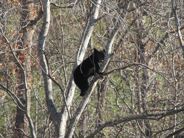 112918 Black bear in Hot Springs.JPG