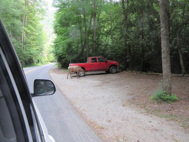 052719 10 Elk at Cataloochee.JPG