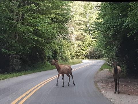 052719 Elk at Cataloochee by Rose.jpg